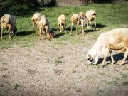 10 Schafe für 1 Maus