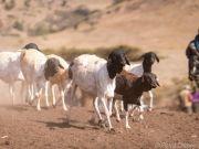 Vom Viehhirten zum Fleischlieferanten
